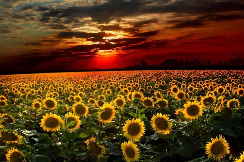Sunflower Widescreen Desktop Wallpaper