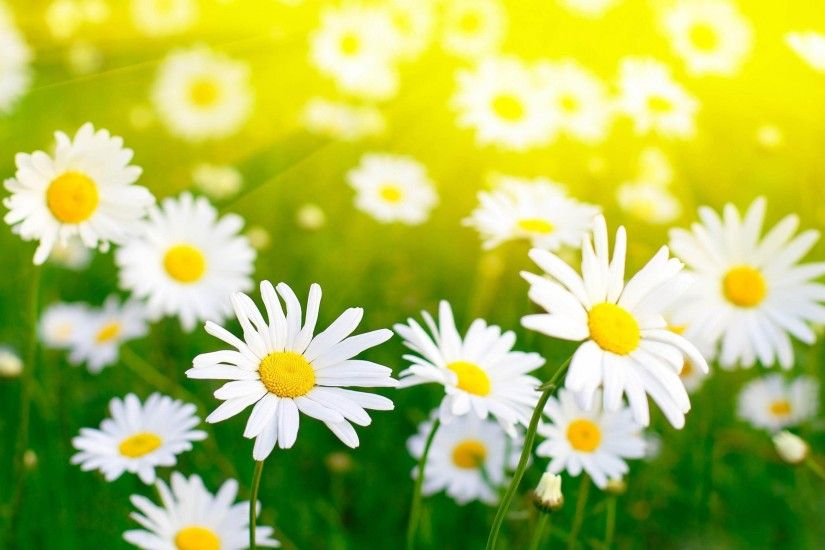 Daisy For Desktop