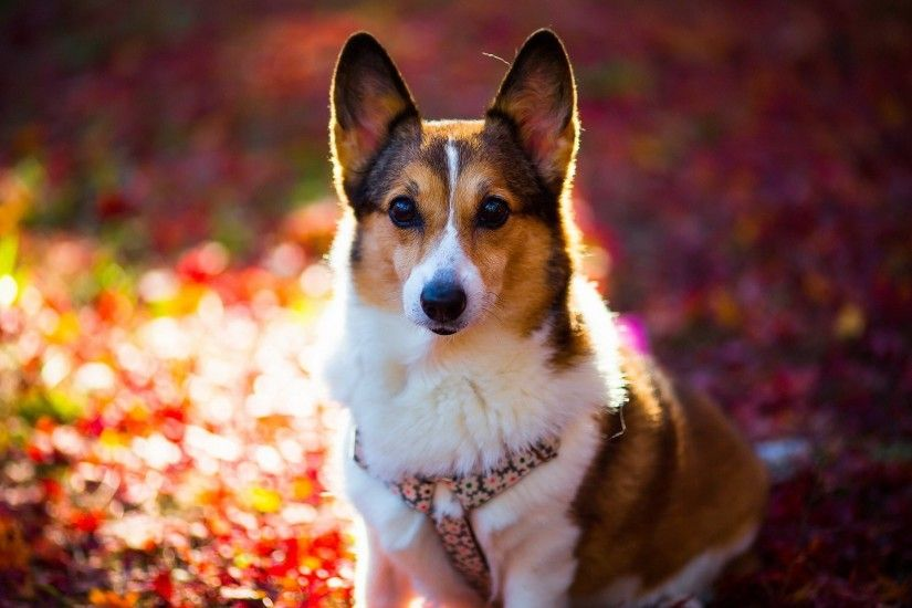 Corgi Cute Dog Puppy · HD Wallpaper | Background ID:339620