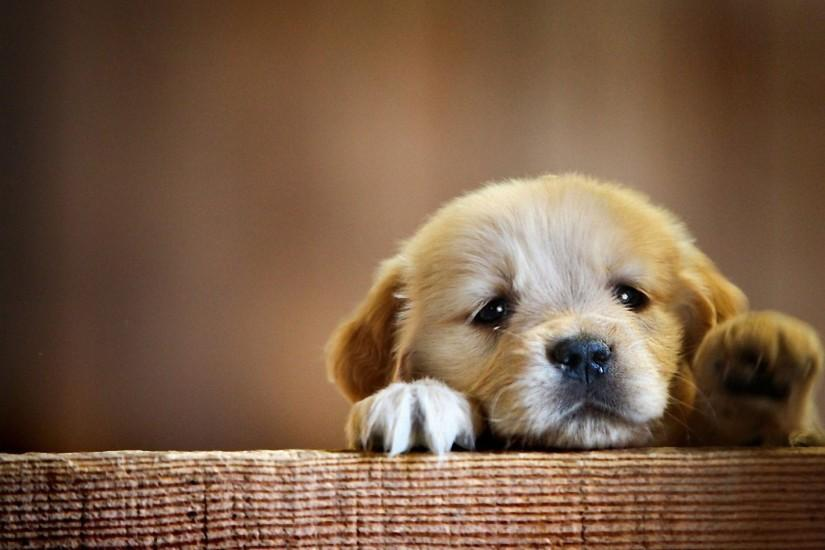 puppy wallpaper 2560x1600 free download