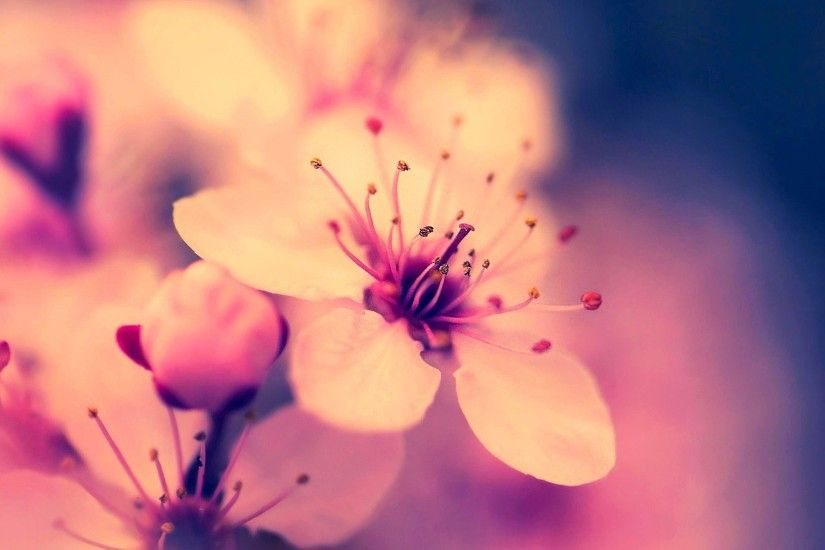 Sakura Flower Wallpapers - Full HD wallpaper search