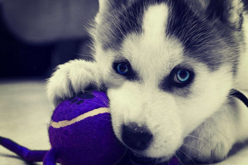 Siberian Husky Puppies Wallpaper HD 1080p