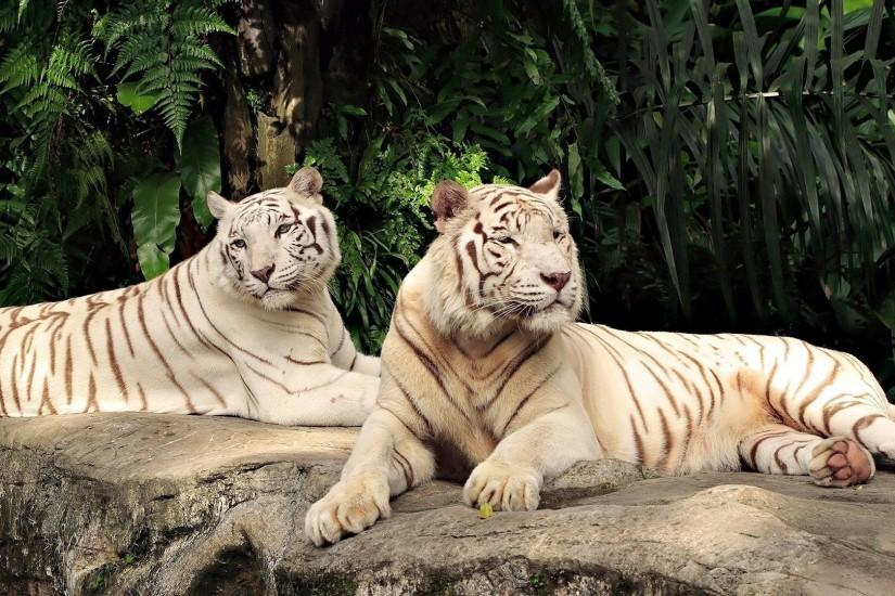 White Tiger Wallpaper 467249 ...