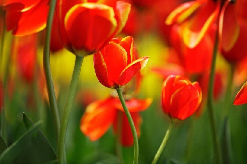 Red Tulips Ohio wallpapers (50 Wallpapers)
