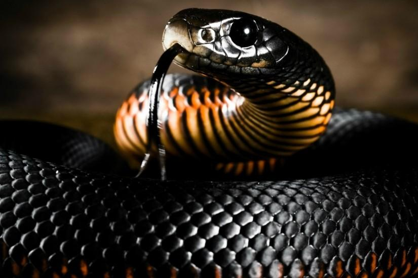Black-Mamba-Snake-HD-Wallpapers | Download Free Desktop Wallpaper .