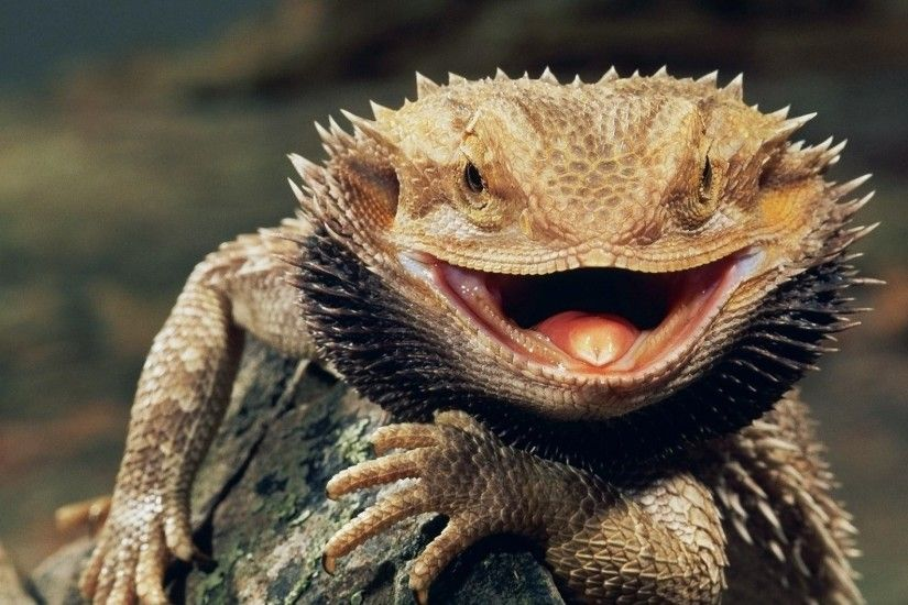 animals, Reptiles, Bearded Dragon Wallpapers HD / Desktop and Mobile  Backgrounds