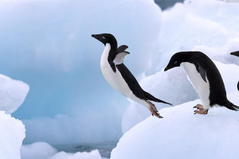 Penguin HD Wallpapers and Pictures