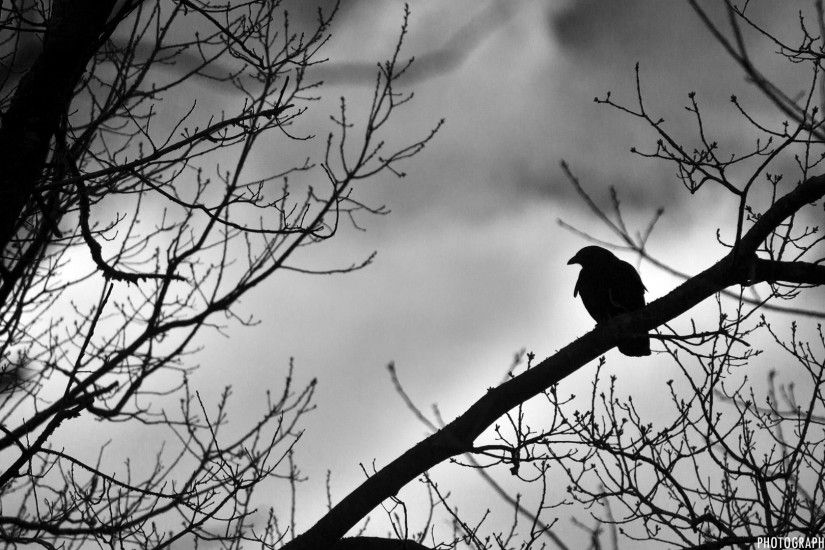 Black and White Crow Wallpaper Withering Sunflower Wallpaper