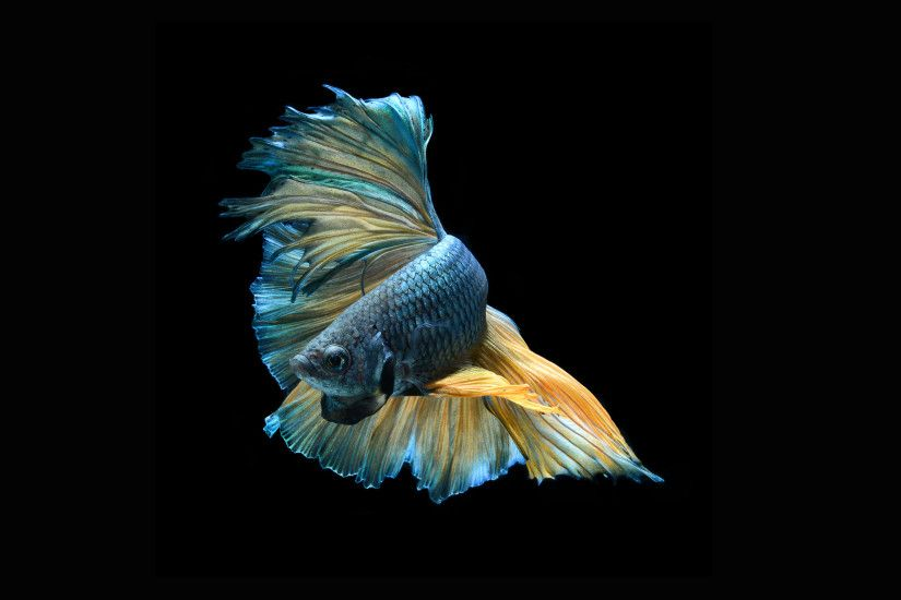 Betta Fish Wallpapers HD | PixelsTalk.Net
