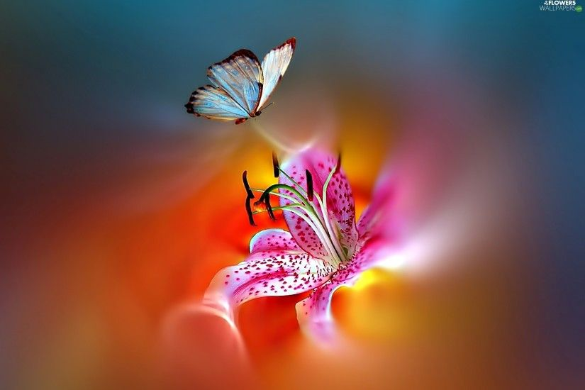 butterfly, Tiger lily