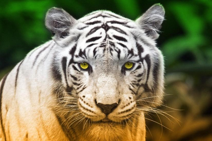 White Tiger HD Wallpapers For Pc