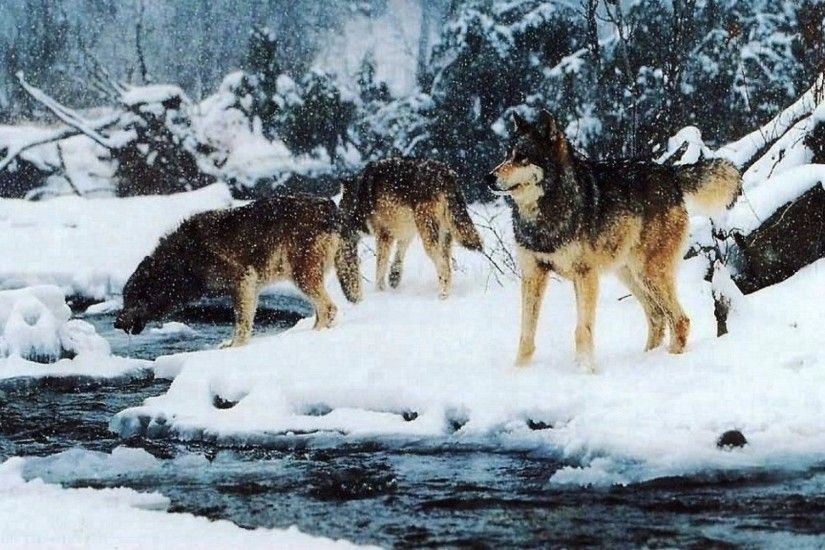 Winter Wolf Pack