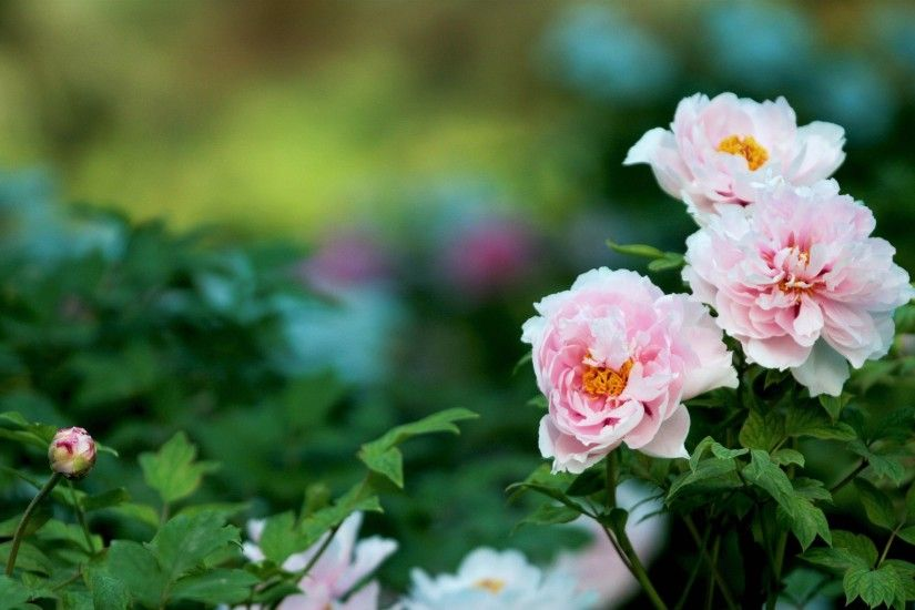 Peony-Wallpaper-Download-Free