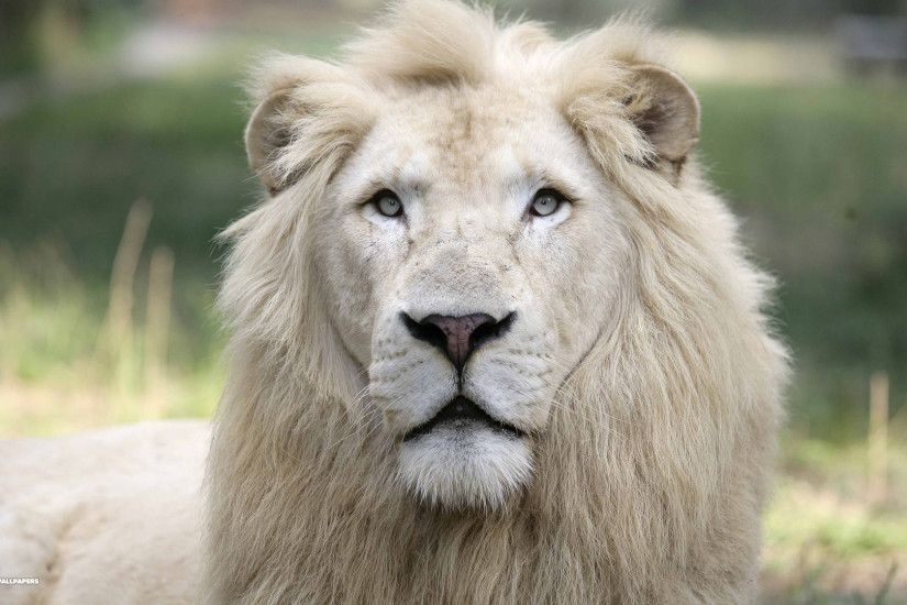 a white lion at jungle island