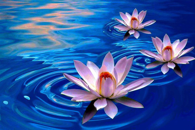 ... Beautiful Lotus Flower Wallpaper Lotus Flower Wallpapers – Wallpaper ...