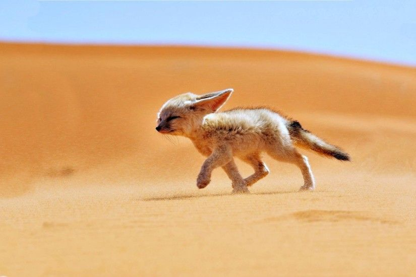 Fennec Tag - Sand Desert Algeria Africa Fox Wind Animals Landscapes Fennec  Nature 3d Animal Pictures
