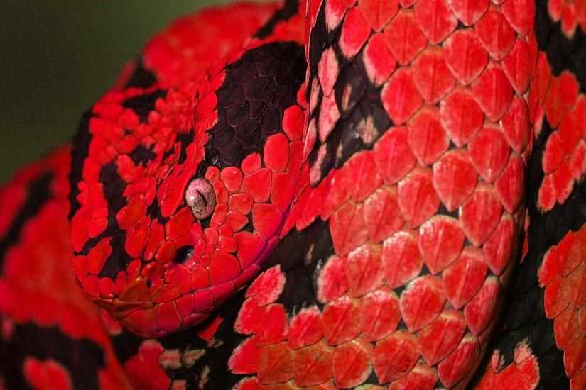Viper Snake Picture Free Download.