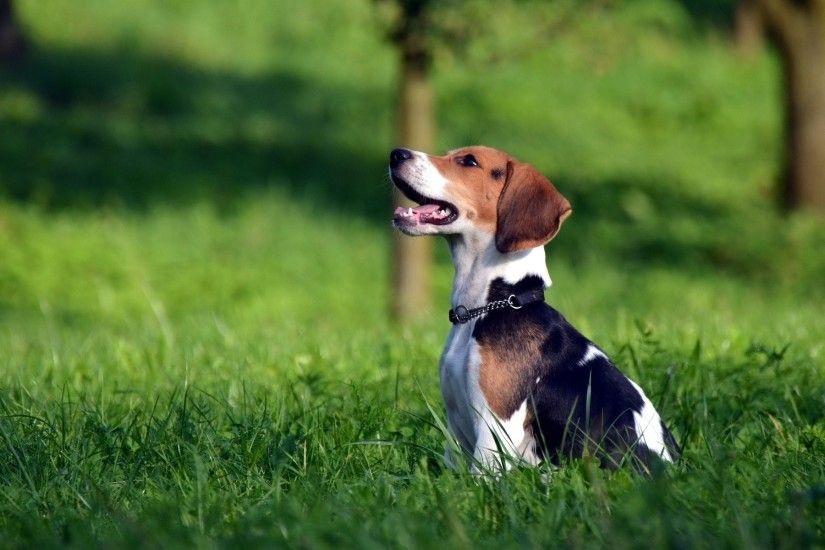 Beagles images Beagle HD wallpaper and background photos