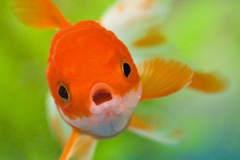 YouWall Red Fish Wallpaper wallpaper,wallpapers,free wallpaper 1600×1200  Fish Pic Wallpapers