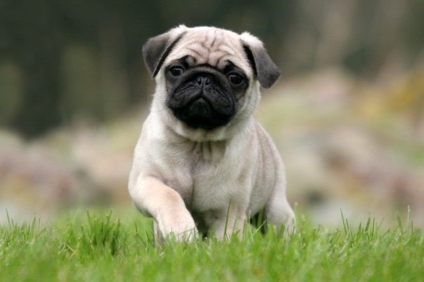 Cute Pug Puppies Wallpapers