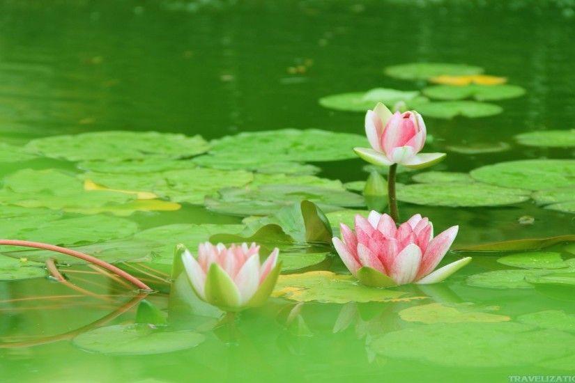 Magical Beauty of Lotus Flower Wallpapers
