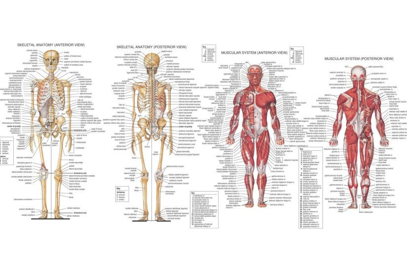 ... Human Physiology Skeletal System Full Hd Wallpapers Pollex Anatomy  Definition Gallery – Learn Human Anatomy Image ...