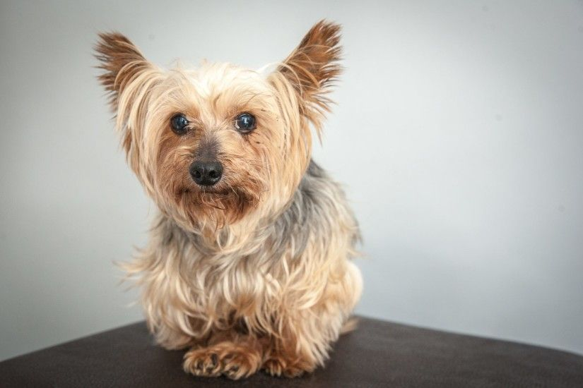 Nice Images Collection: Yorkshire Terrier Desktop Wallpapers