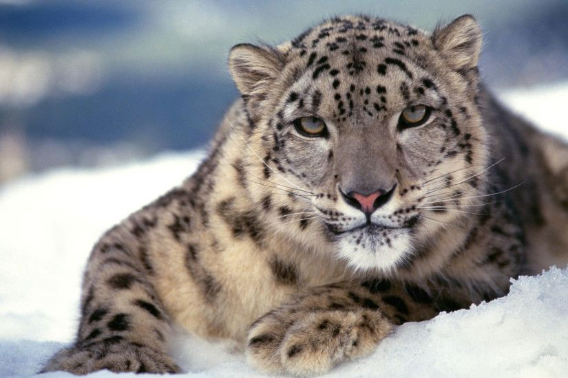 Scary Snow Leopard