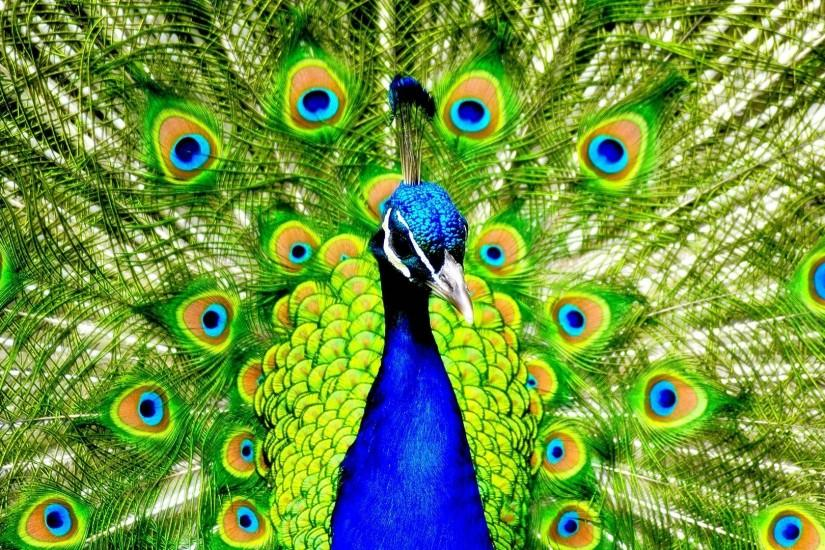 Peacock Wallpaper | Large HD Wallpaper Database