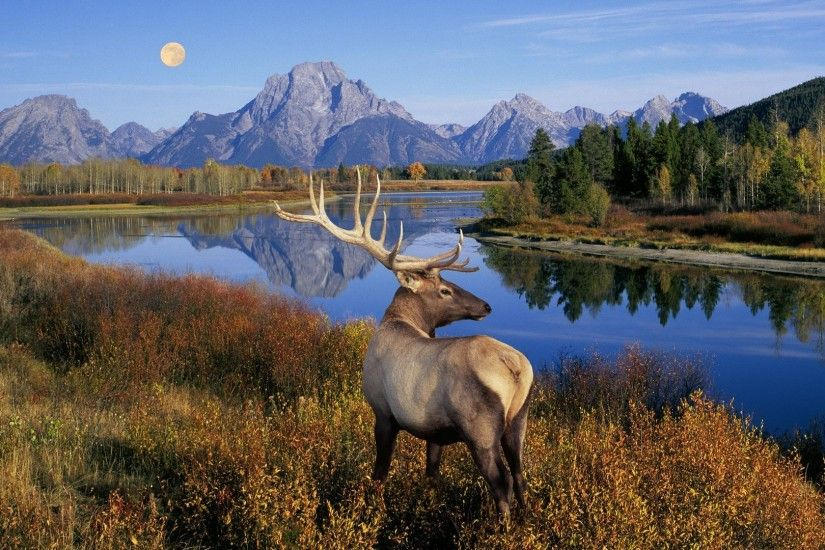 Deer moose lake water reflection wood fall nature landscape HD wallpaper.  Android wallpapers for free.