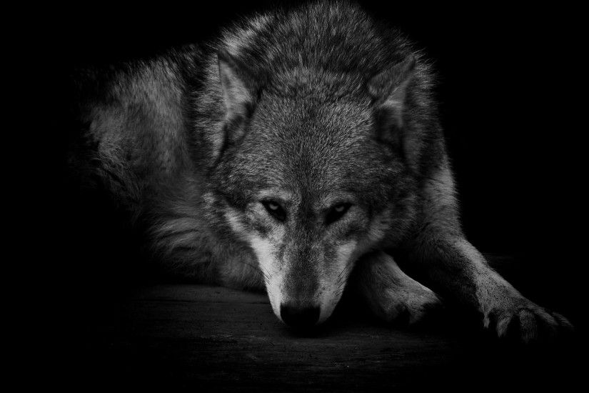 GRAY WOLF WALLPAPER - (#80742) - HD Wallpapers - [wallpapersinhq.pw