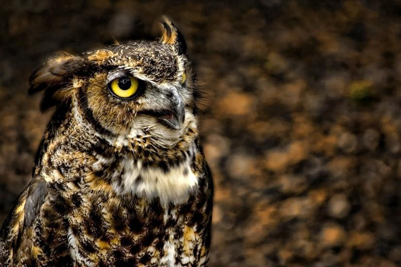 Animal owl backgrounds free download.