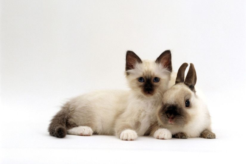 birman kitten with baby seal point netherland dwarf rabbit colour  coordinated