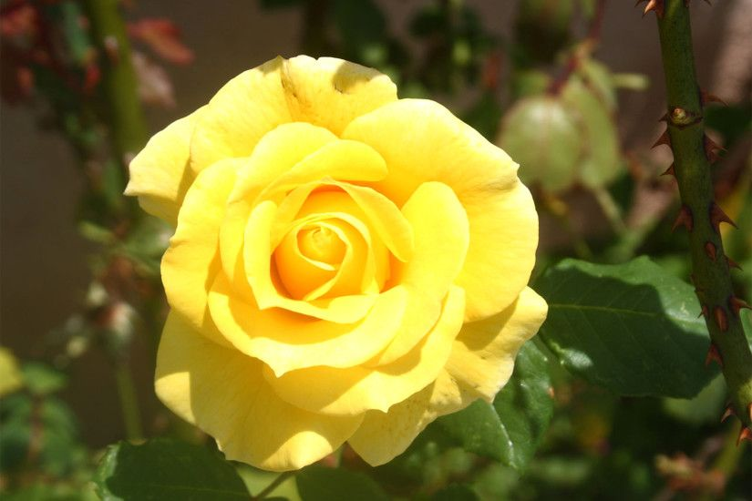 Yellow Rose Wallpaper Photos 10346