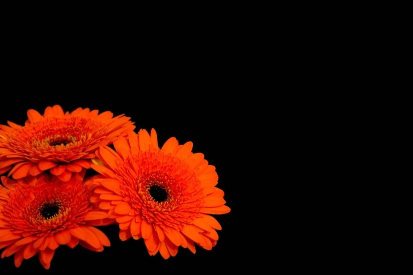 Flowers / Gerbera flowers Wallpaper