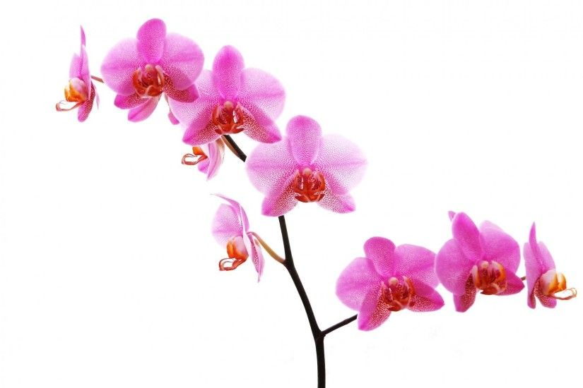 Wallpaper Orchid, Flower, Twig, Pink, Close-up