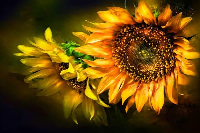 cool sunflower background 1920x1200