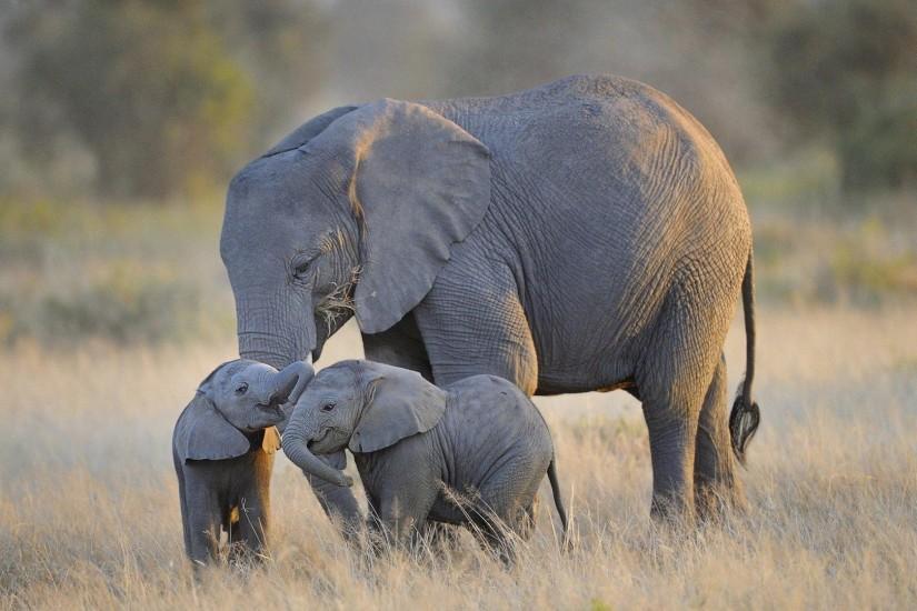 Elephant wallpaper ·① Download free cool full HD ...