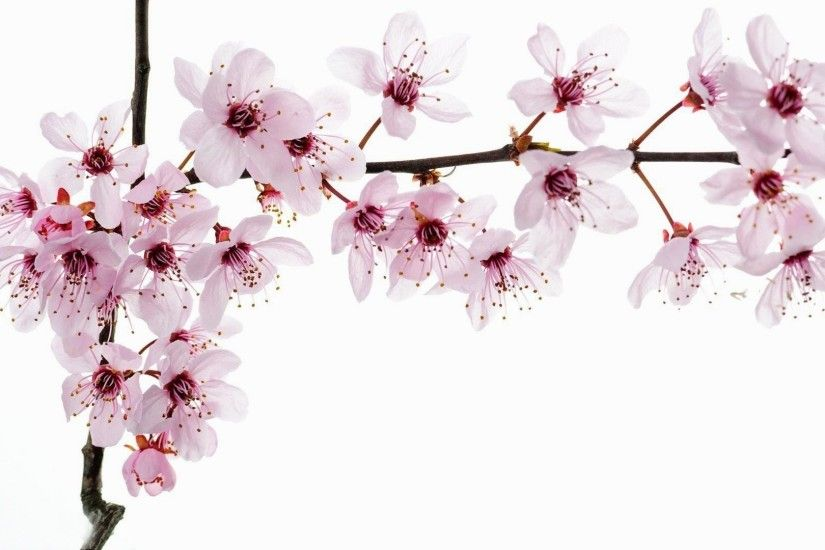 Flowers-cherry-blossoms-wallpapers-full-size
