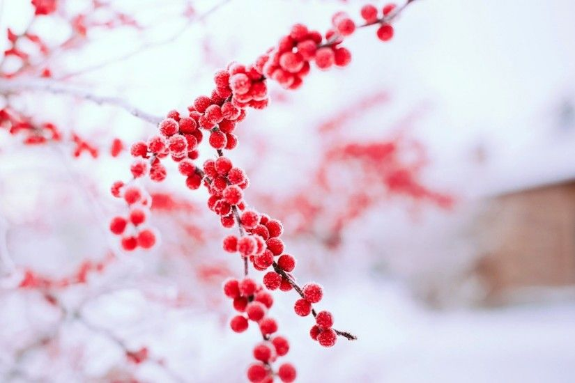 Berries Tag - Berries Tree Red Winter Branch Bokeh Background Nature Images  Hd for HD 16