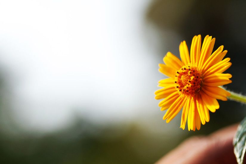 Single Yellow Daisy Flower Against Bright Sky Background .
