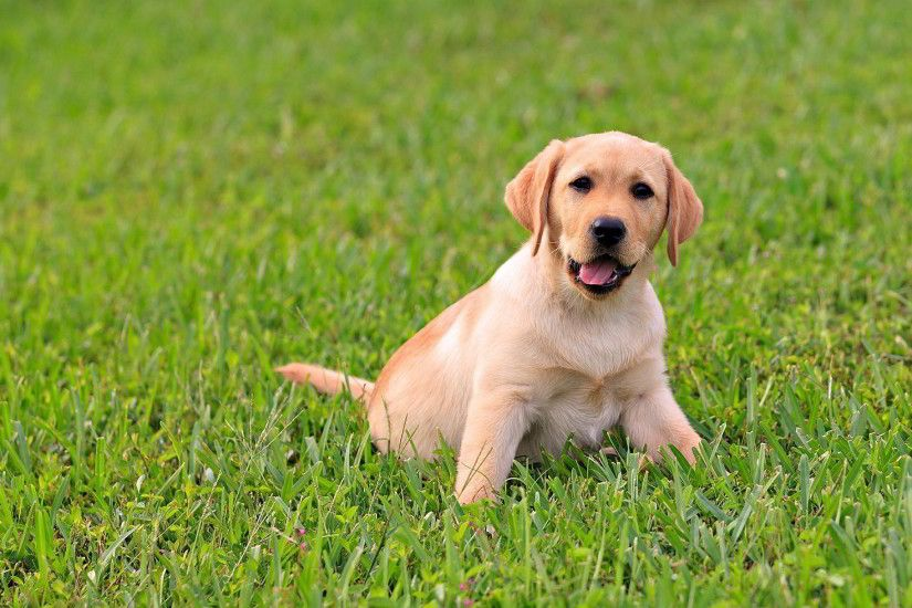 cute labrador puppy pictures | Cute Labrador Puppy Wallpapers Pictures  Photos Images