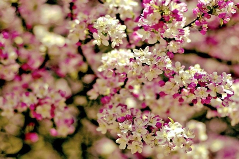 Spring Flowers Background | wallpaper spring tree flowers categories flowers  downloads 3199 added .