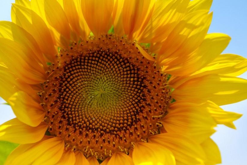 new sunflower wallpaper 1920x1200