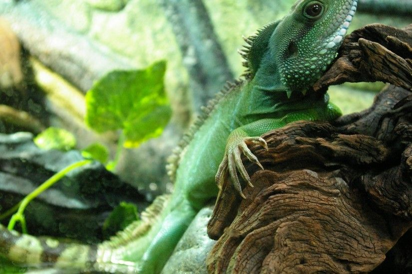 Chinese Water Dragon breed