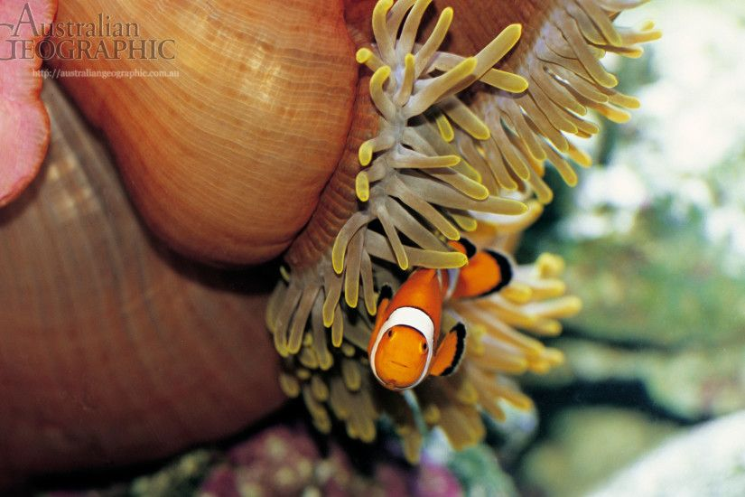 Wallpapers. Images of Australia: Clown fish, Great Barrier Reef, Queensland
