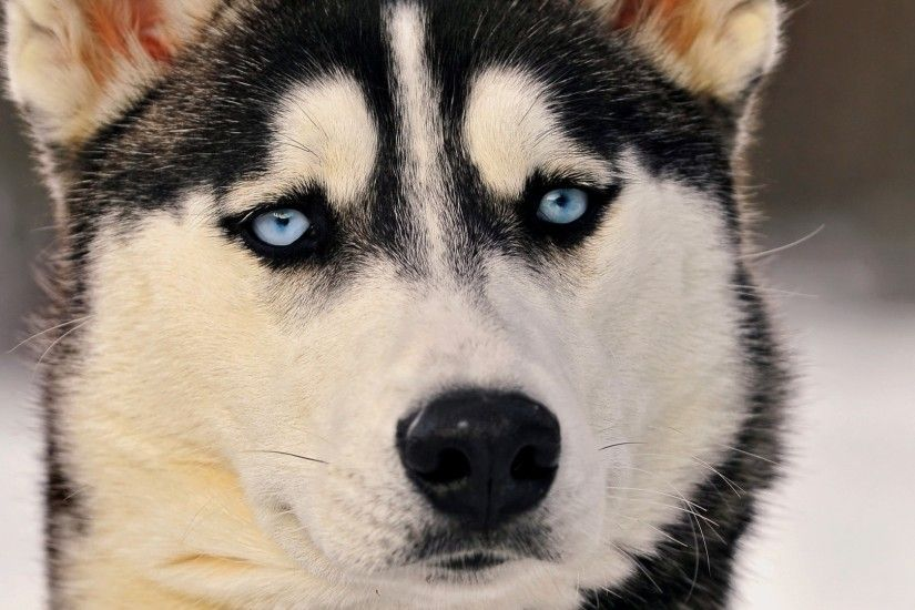Preview wallpaper husky, dog, face, blue eyes, eyes 1920x1080