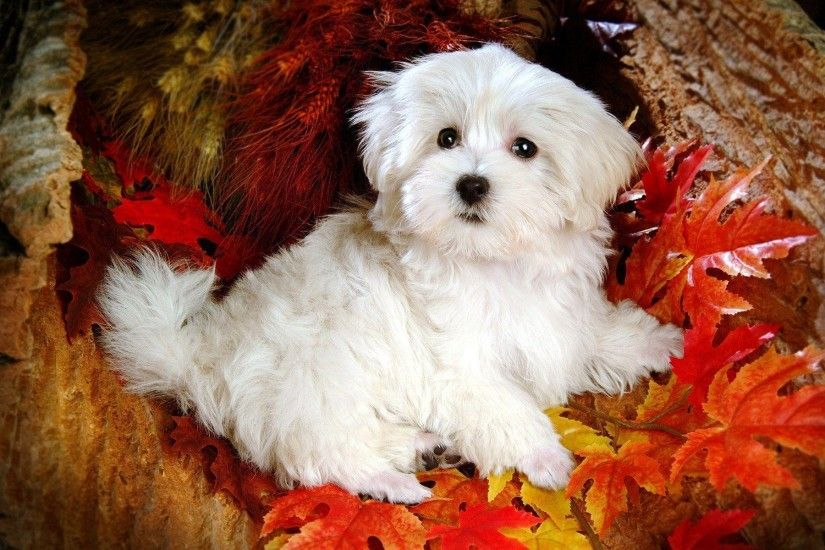 Wallpapers For > Cute White Puppy Wallpaper Desktop