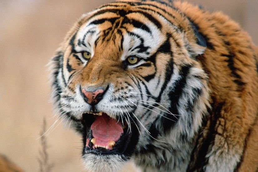 Animal Tigers Roaring