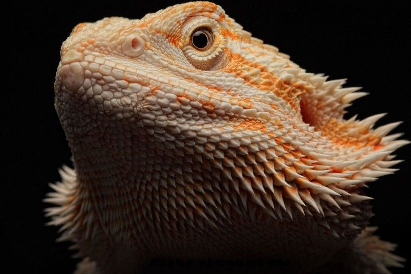 Bearded Dragon HD Wallpapers - HD Wallpapers Inn